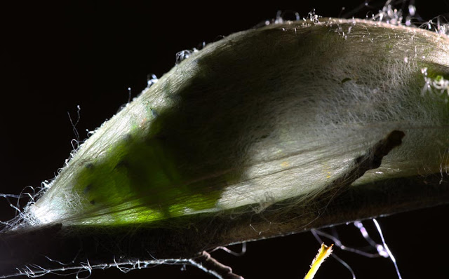 Cecropia caterpillar inside its cocoon.