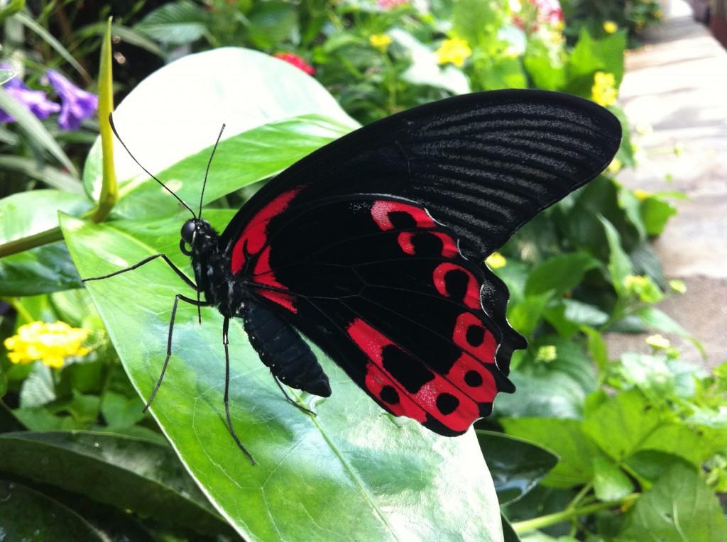 Scarlet Mormon; Papilio rumanzovia