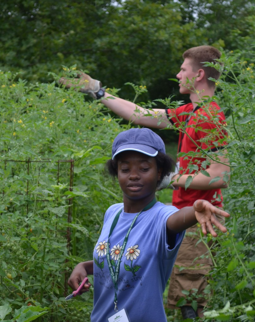 Youth Service Volunteers giving the cherry tomatoes a hair cut!