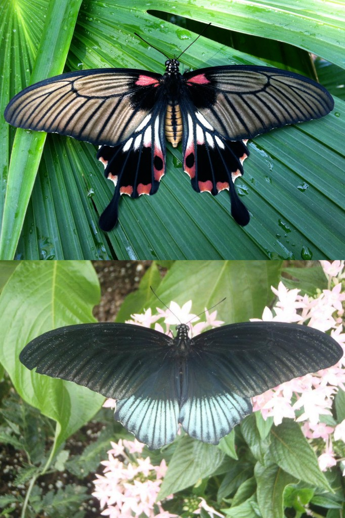 Great Yellow Mormon; Papilio lowii