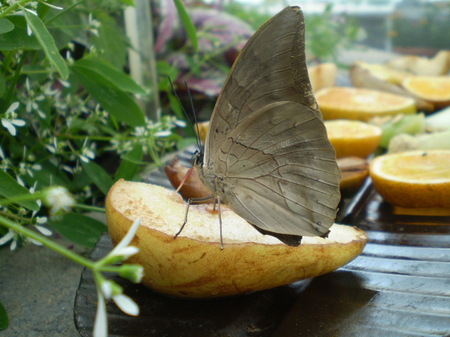 Archaeoprepona demophon - King Shoemaker Butterfly
