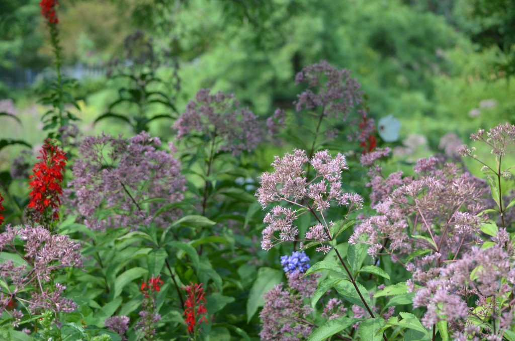 Joe Pye weed and cardinal flower