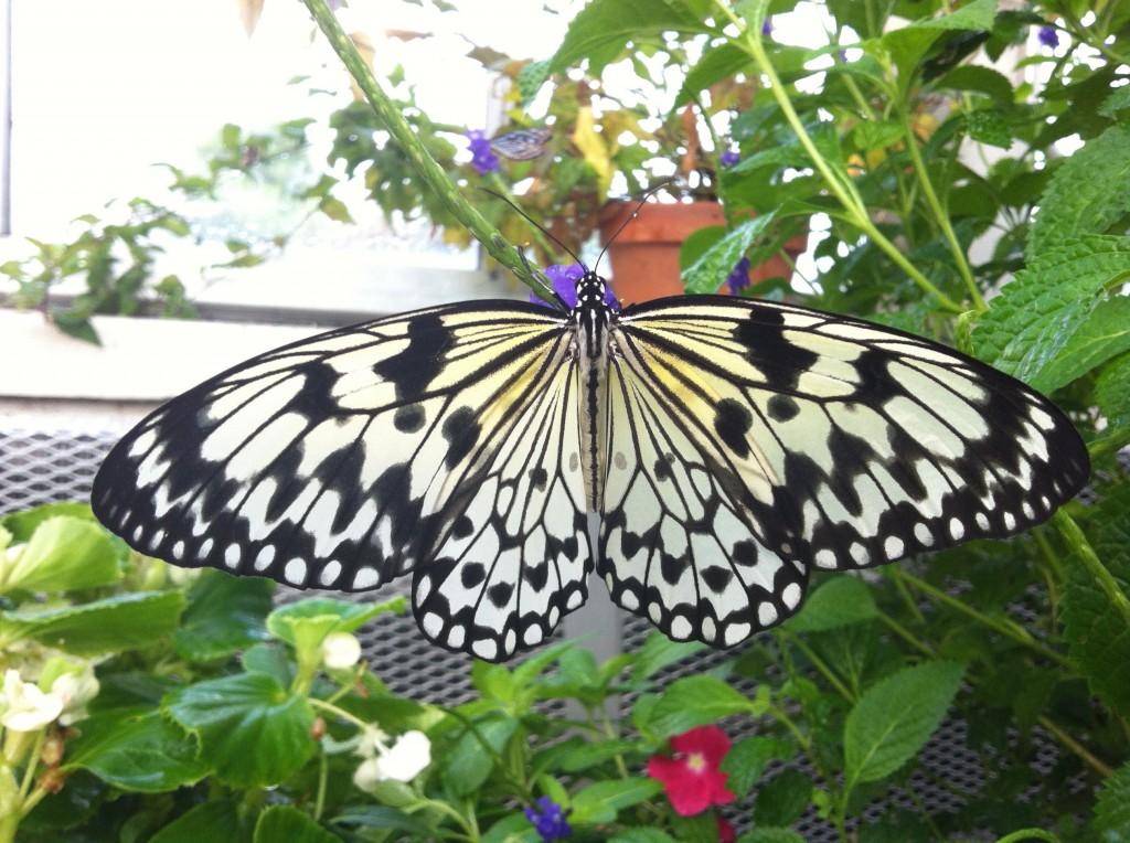 Idea leuconoe - Paper Kite Butterfly
