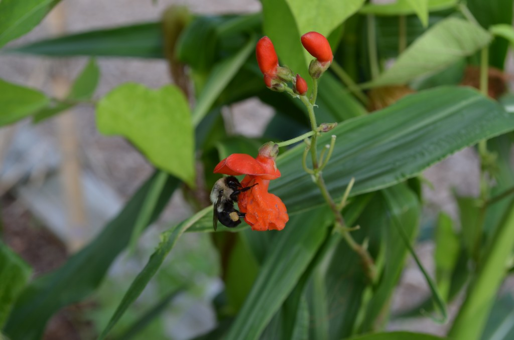 The bees love the scarlet flowers!