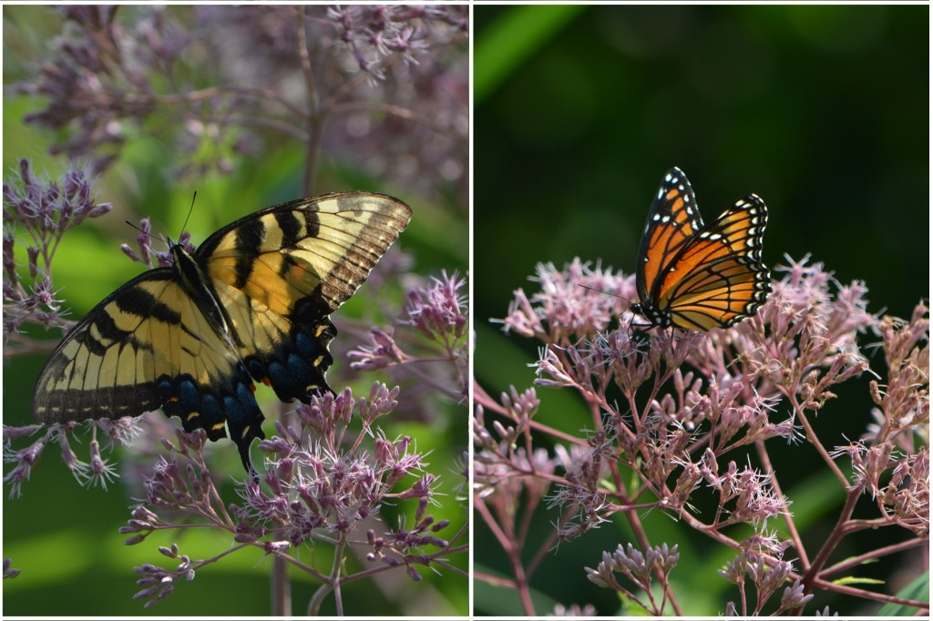 Eastern Tiger Swallowtail (Papilio glaucus), left, and Viceroy butterfly, right