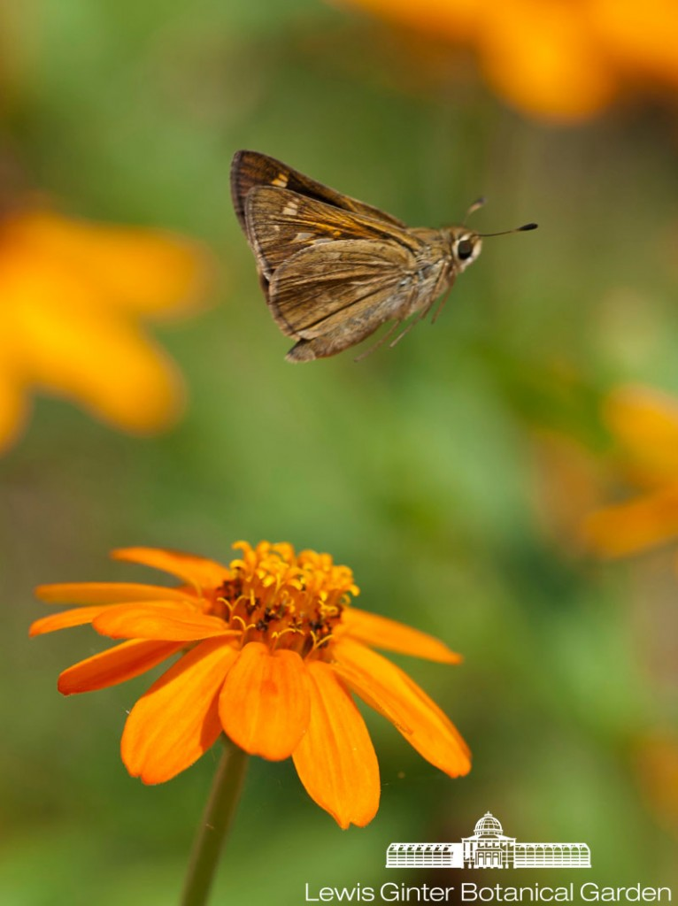 "This one here is a skipper butterfly, named after its quick & darting flight pattern. If you look closely you'll see them ""skipping"" about the flowers in the Central Garden.  Photo by Don Williamson Photography"