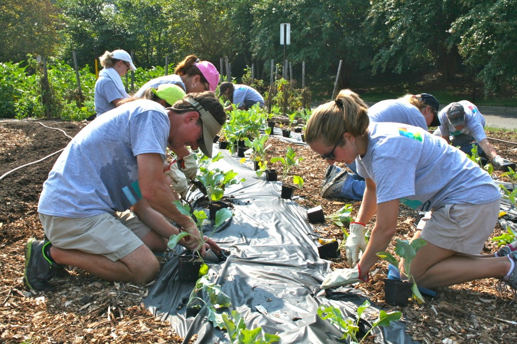 Altria volunteers planting cauliflower transplants.
