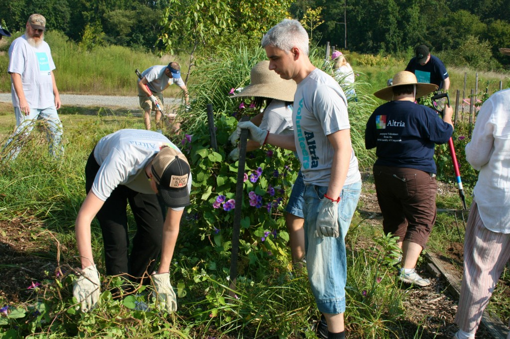 Altria volunteers clear a bed of tomato vines, stakes and morning glory vines - a big job.