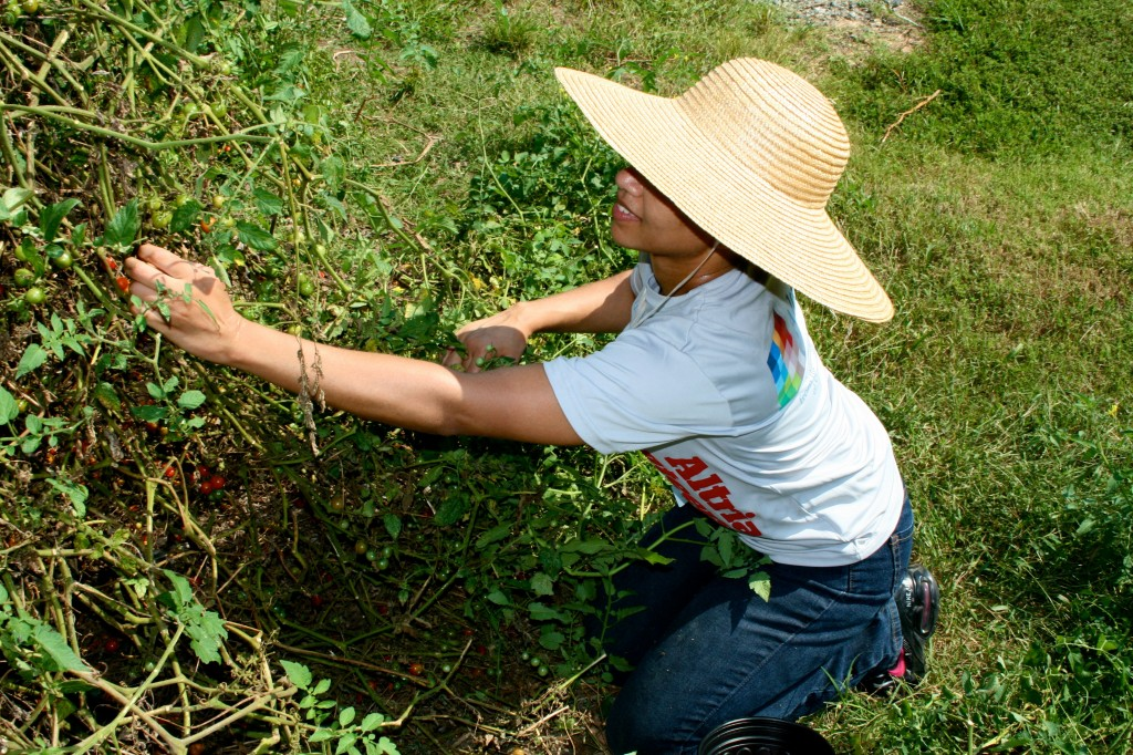 Altria volunteer picking cherry tomatoes, sporting a super-sensible and stylish gardening hat.