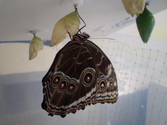 Emergence Room Butterflies Live