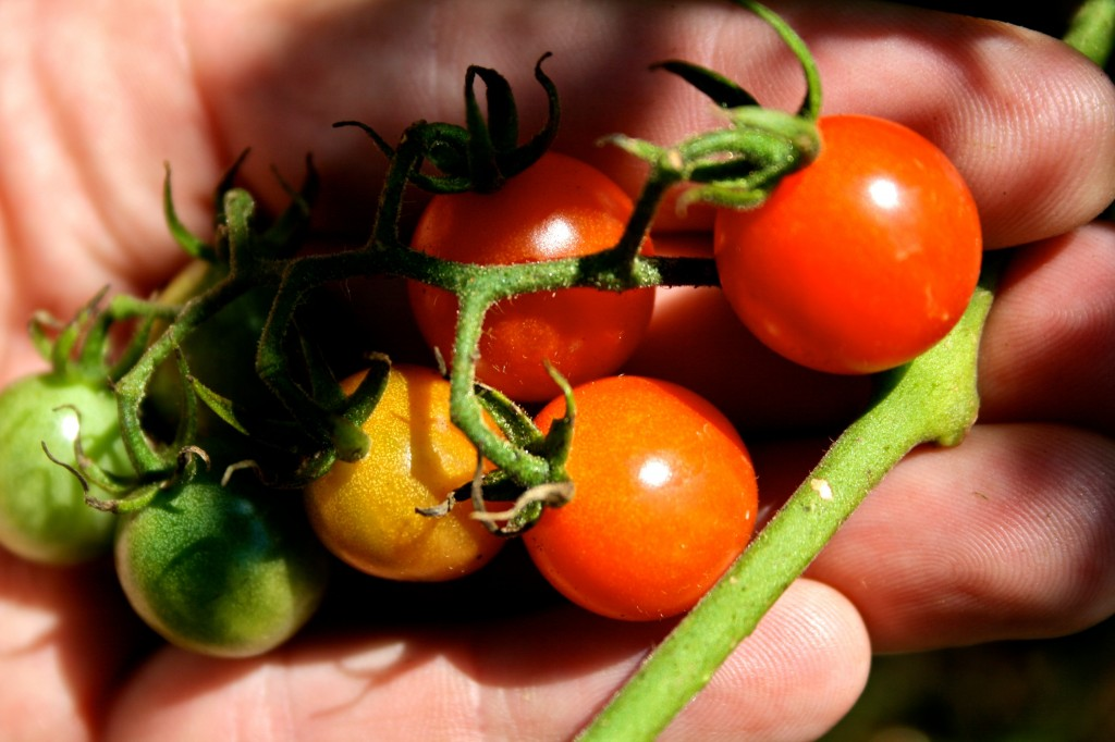Our cherry tomato variety in the Community Kitchen Garden is Jasper, an F1 disease-resistant variety, organically grown from seeds acquired from Johnny's Selected Seeds.