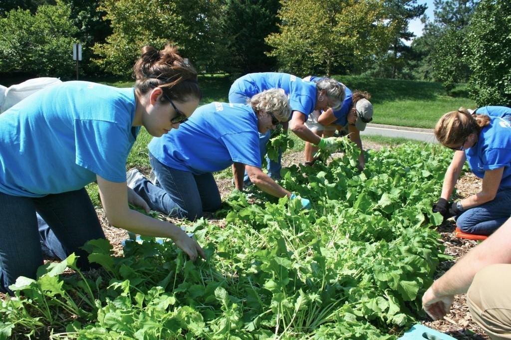 The Dominion team thins Purple-Top turnip seedlings.