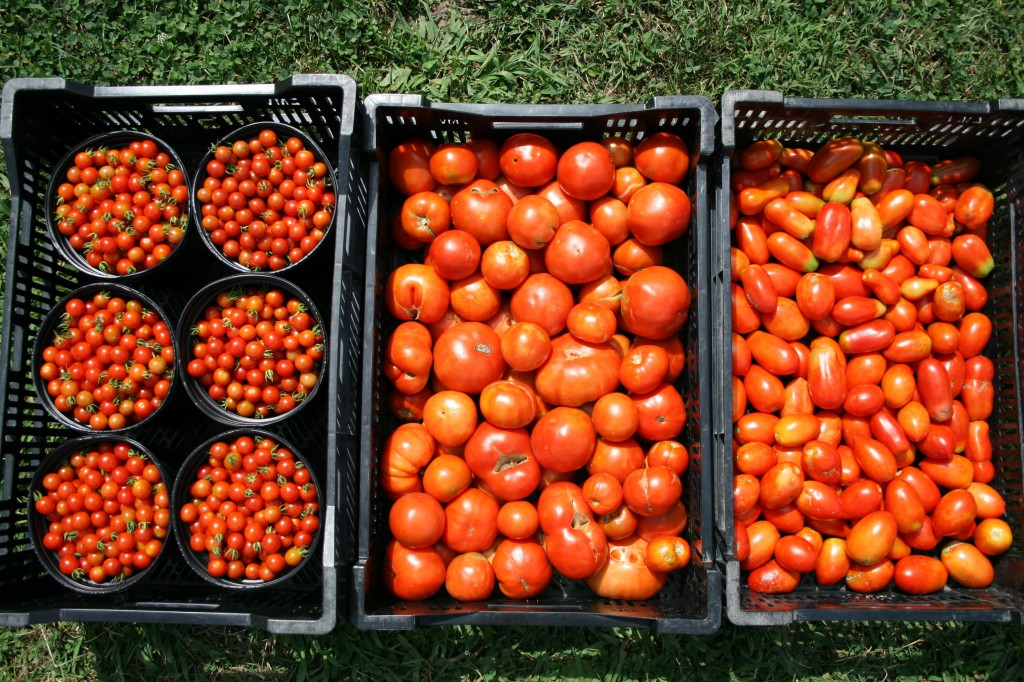 "We grew cherry tomatoes, Big Boy and beefsteak ""slicing"" tomatoes, and Romas. We had a disappointing season for the slicing tomatoes, with periods of too much moisture, too much heat, a large population of fruit worms."
