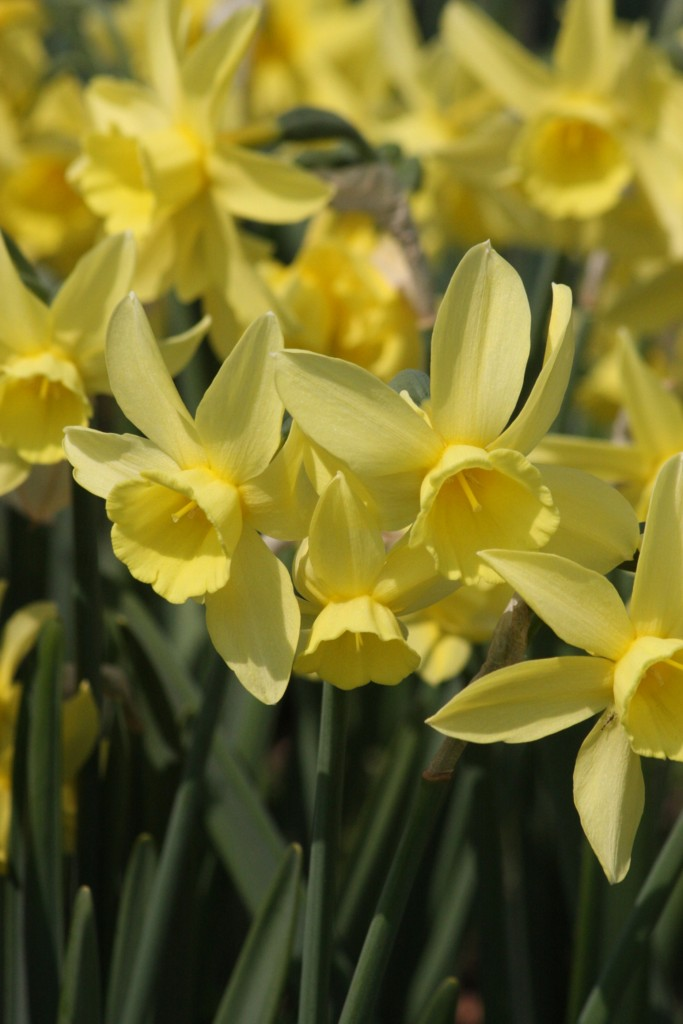 Ginter's Gem, photo courtesy Brent and Becky's Bulbs.