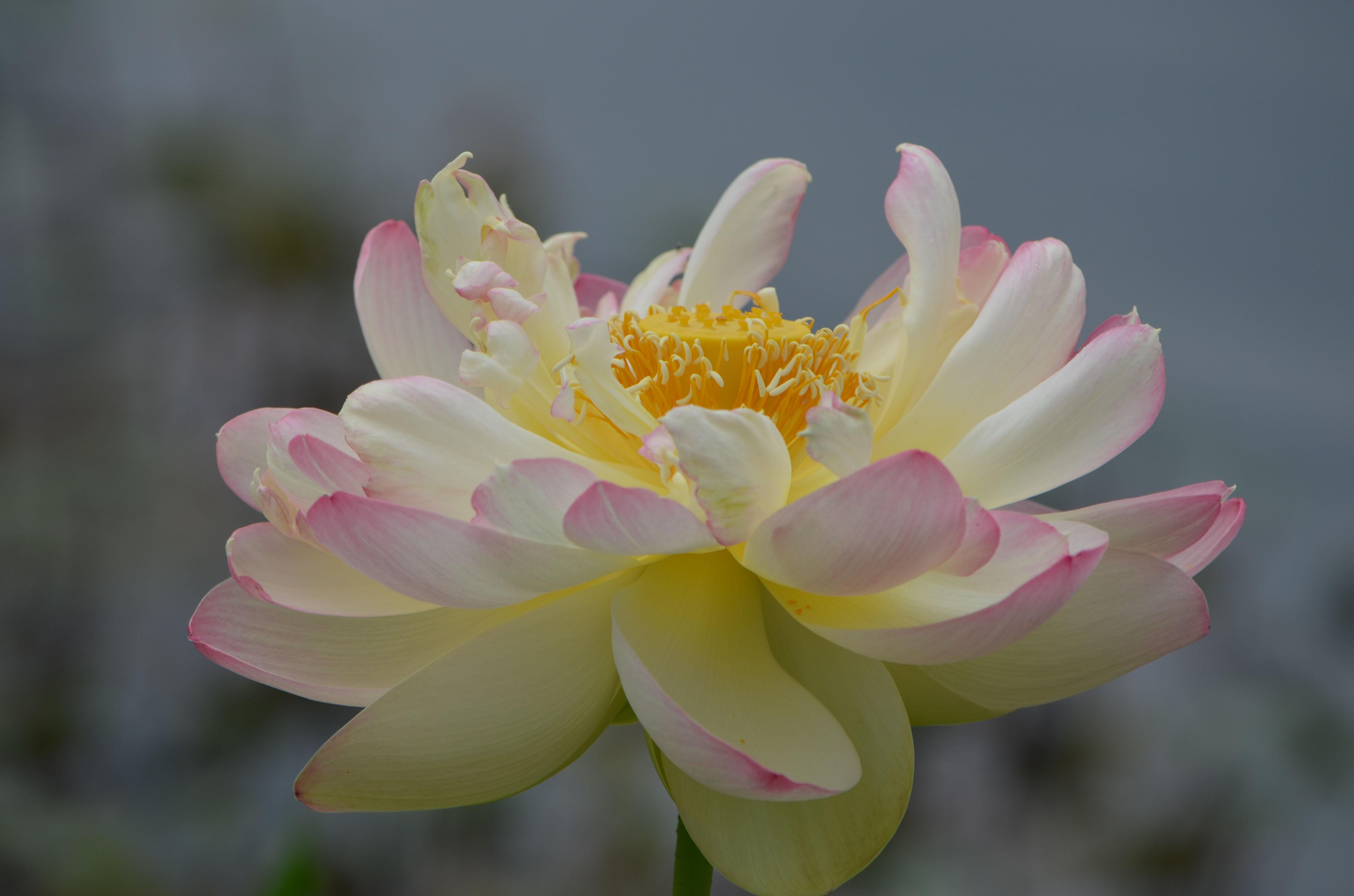 Lotus Pods 2 Ways Lewis Ginter Botanical Garden