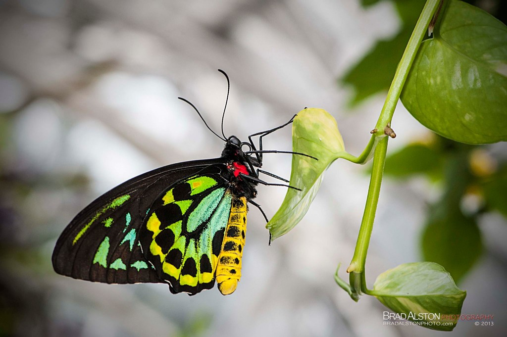 New Guinea Birdwing (Ornithoptera priamus)