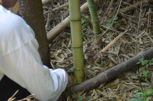 A fast-growing plant with deep roots, bamboo can be difficult to contain. Photo by Jonah Holland.