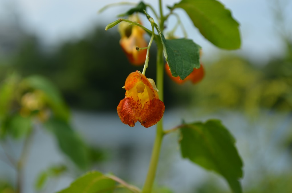 Jewelweed <em>Impatiens capensis <em>