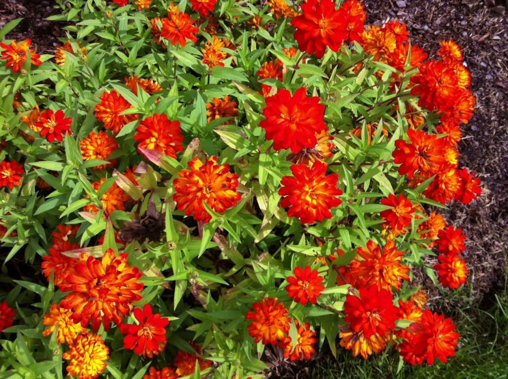 Zinnia blooming