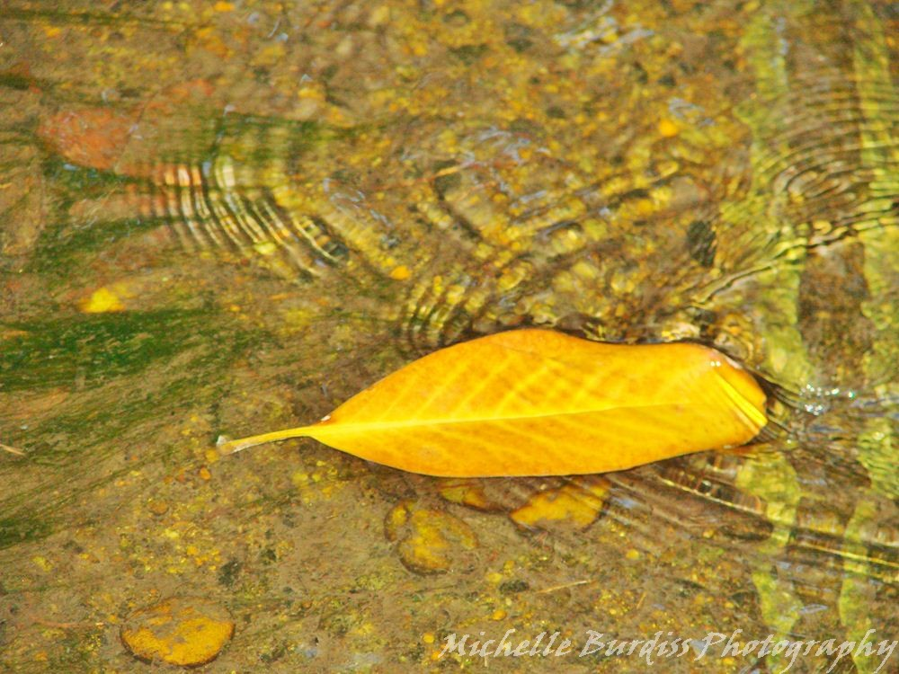 a fallen leaf in the creek