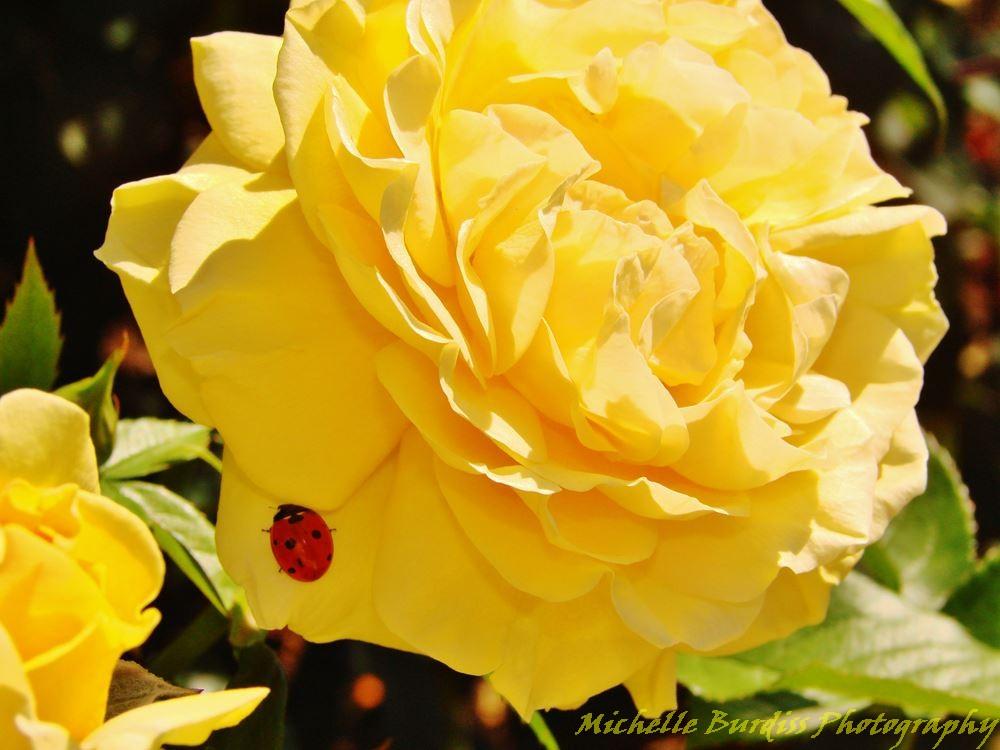 ladybug on a yellow rose