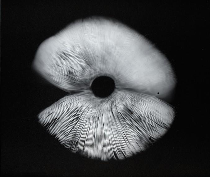Amanita spore print alex arzt