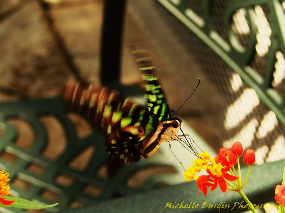 Fluttering butterfly by Michelle Burdiss