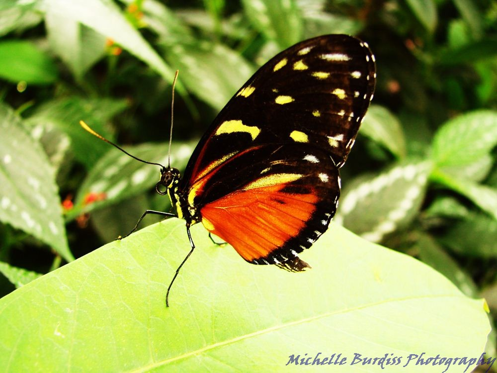 A longwing butterfly. Photo by Michelle Burdiss