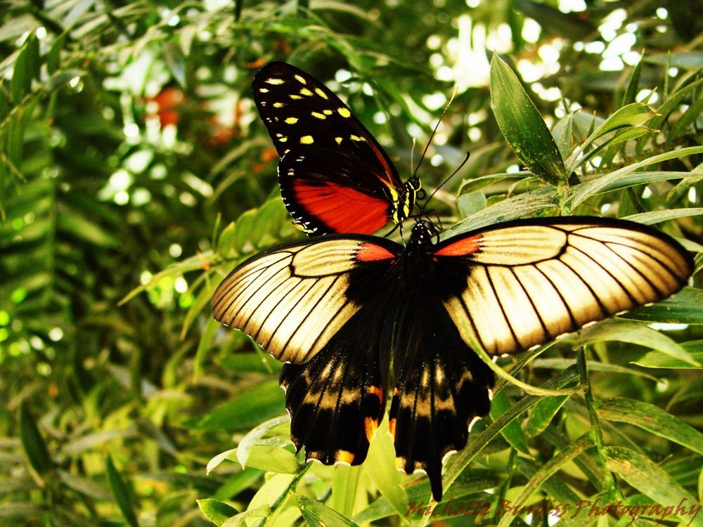 2 for 1 butterflies!  Photo by Michelle Burdiss