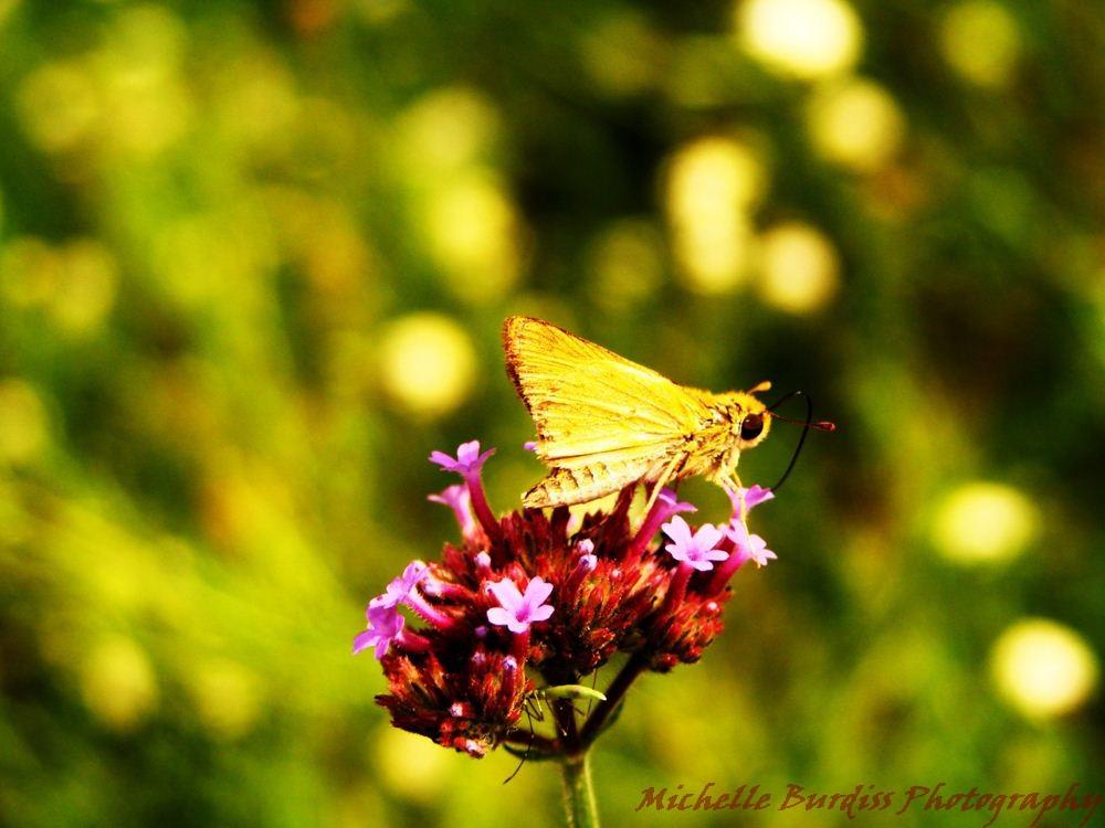 skipper butterfly and Verbena bonariensis