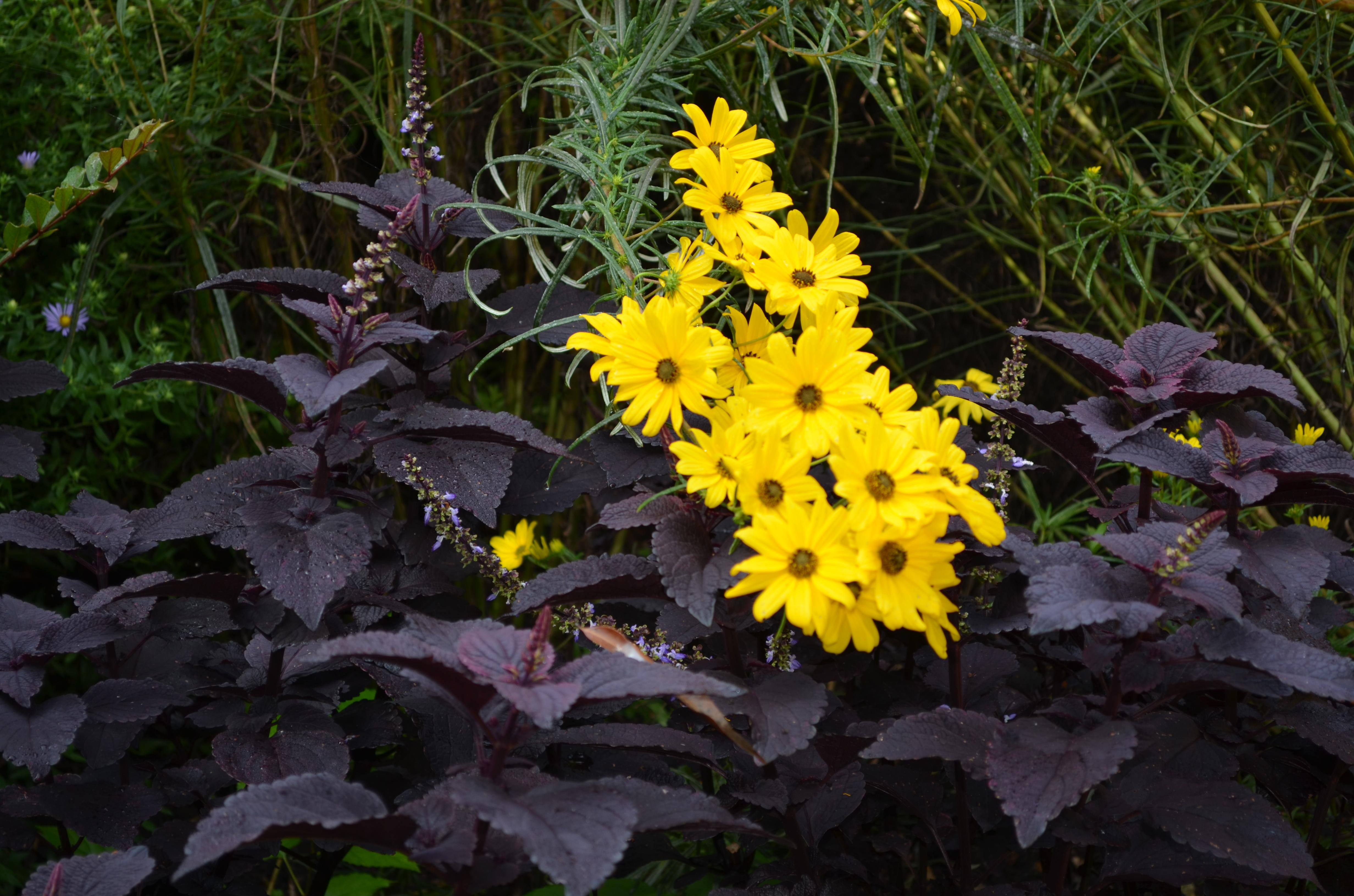 Narrow leaf sunflower
