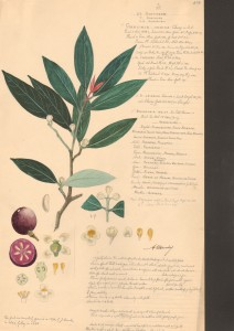 Garcinia indica illustration by Descubes