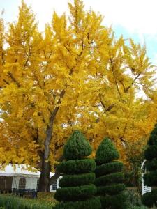 Gingko yellow, spirals green