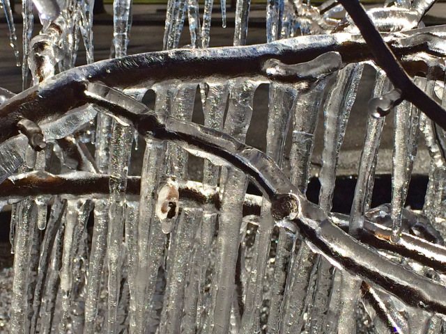 iced branches at lewis ginter botanical garden