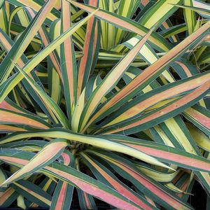 """Yucca """"Color Guard'"""