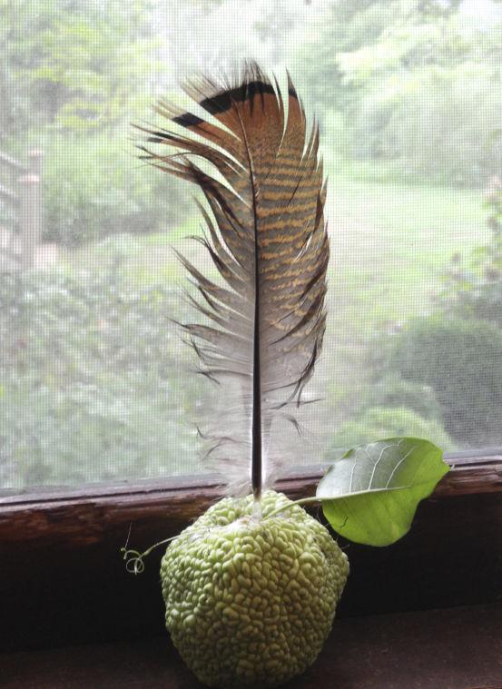 nancy ross hugo photo of osage orange and feather