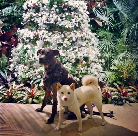 White shiba inu dog and gray dog