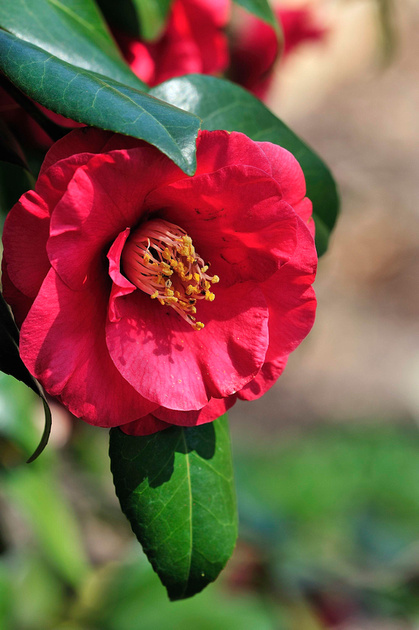 Camellia. Photo by Don Williamson Photography.