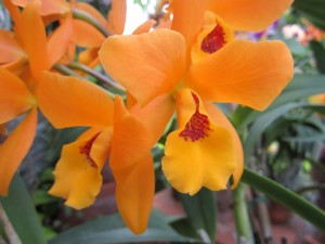 Laeliocattleya Gold Digger 'Orchid Jungle'