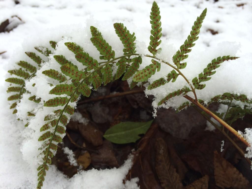 snowy fern.