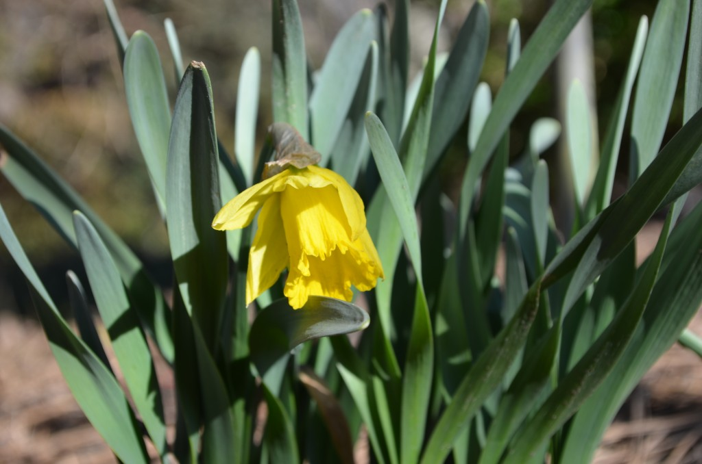 Narcissus - Rijnveld's Early Sensation