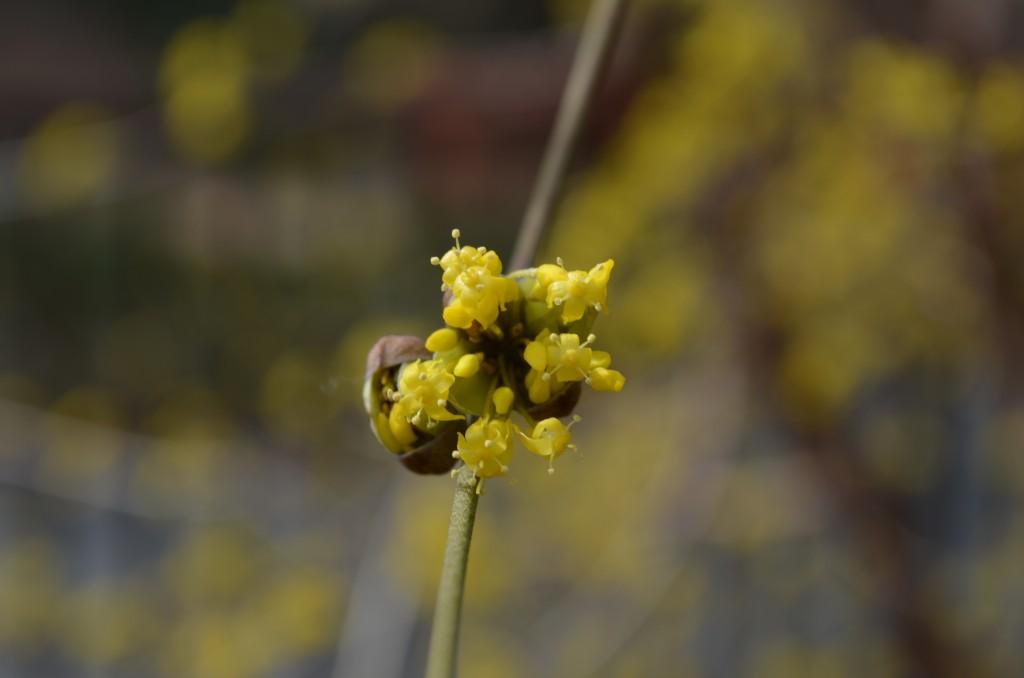 Cornelian cherry or Cornus Mas