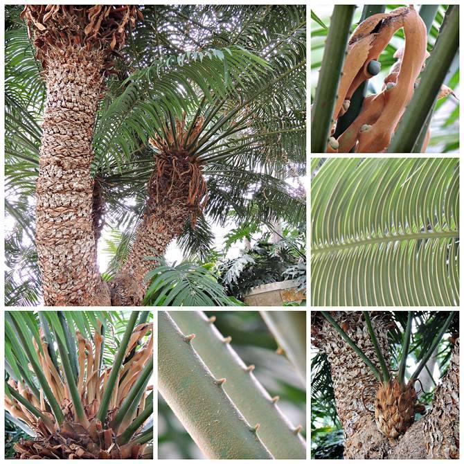 Queen Sago palm (Cycas circinalis)
