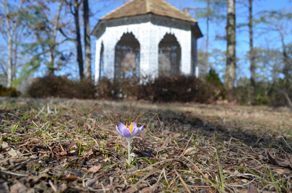 Spring is on the way! A single Crocus tommasinianus 'Lilac Beauty' and the Lace House.