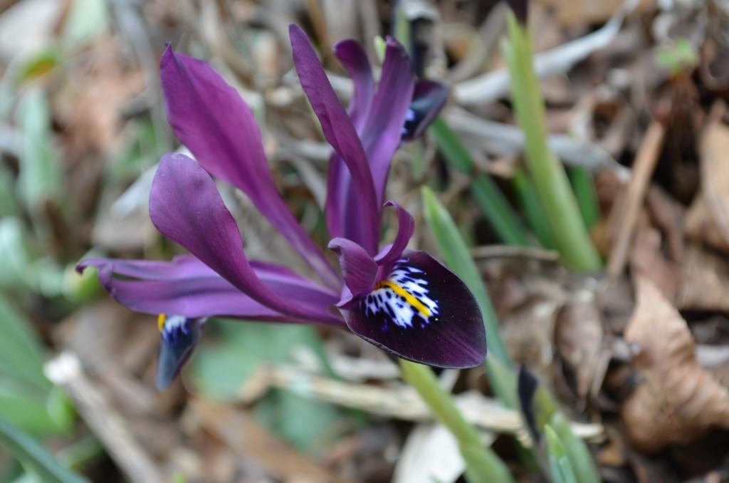 Iris reticulata or reticulated iris