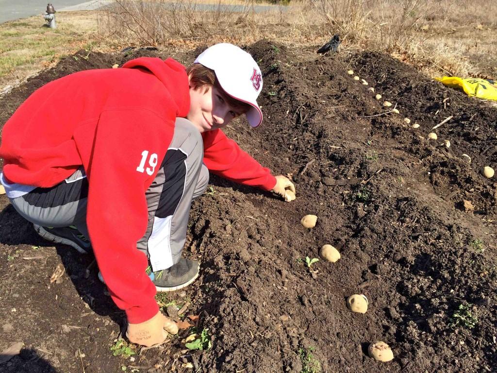 Volunteer Wylie Shiffert plants Red Pontiac seed potatoes.