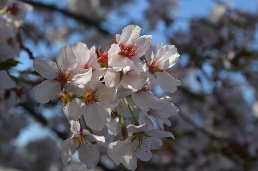 cherry blossoms, Prunus x yedoensis, blooming at Lewis Ginter Botanical Garden