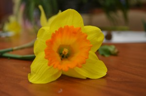 Daffodil on table