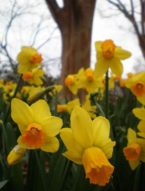 daffodils in bloom at Lewis Ginter Botanical Garden