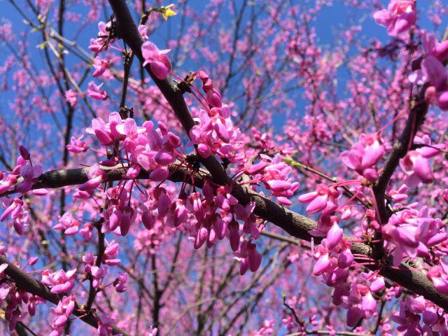 eastern redbed tree blooms